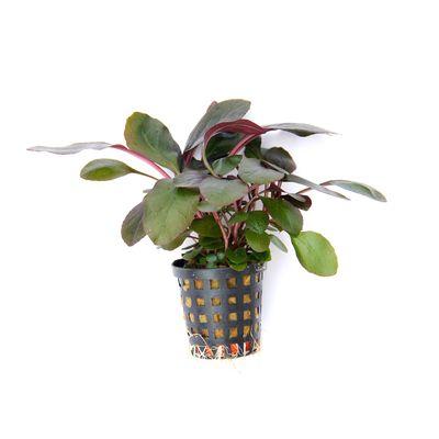 Tissue Culture Lobilia cardinalis - Live Aquarium plants, 5 packs