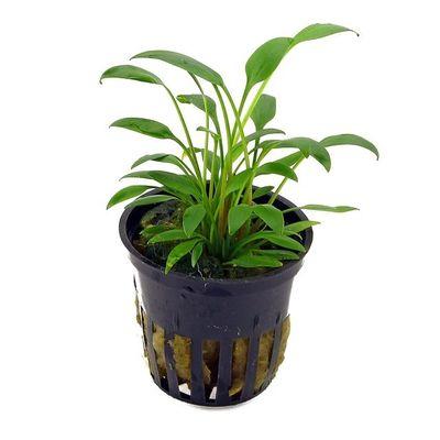 Tissue Culture Cryptocoryne willisii - Live Aquarium Plants, 1 pack