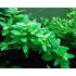 Tissue Culture Staurogyne repens - Live Aquarium Plant, 10 packs