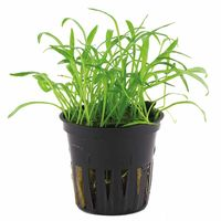 Tissue culture Lilaeopsis brasiliensis Live Aquarium Plants, 10 packs