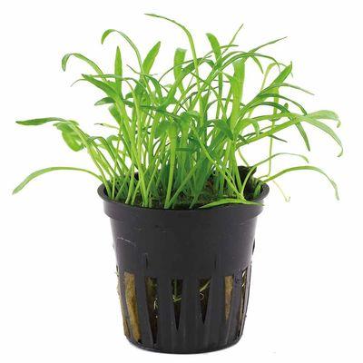 Tissue culture Lilaeopsis brasiliensis Live Aquarium Plants, 10 packs