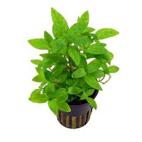 Tissue Culture Staurogyne repens - Live Aquarium Plant, 10 packs