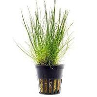 Dwarf Hair Grass Plant