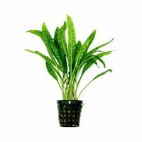 Tissue Culture Cryptocoryne balansae - Live Aquarium Plant, 1 pack